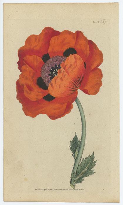 botanical prints curtis botanical magazine engravings