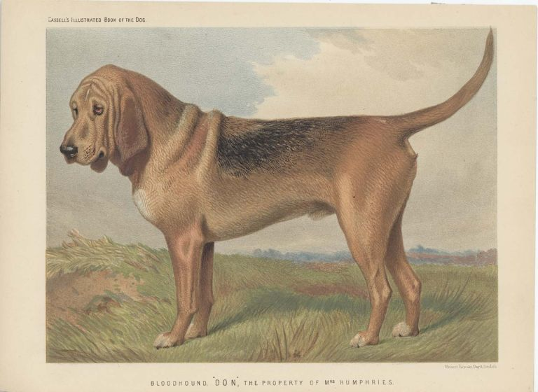 """Bloodhound. """"Don"""", The Property of Mrs. Humphries. BLOODHOUND - CHROMOLITHOGRAPH."""
