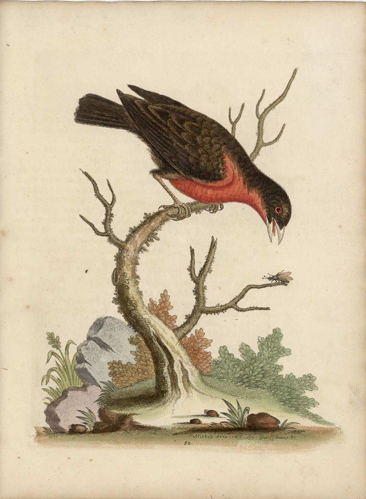 The Greater Bull-Finch. EDWARDS - EIGHTEENTH CENTURY COPPERPLATE ENGRAVINGS.