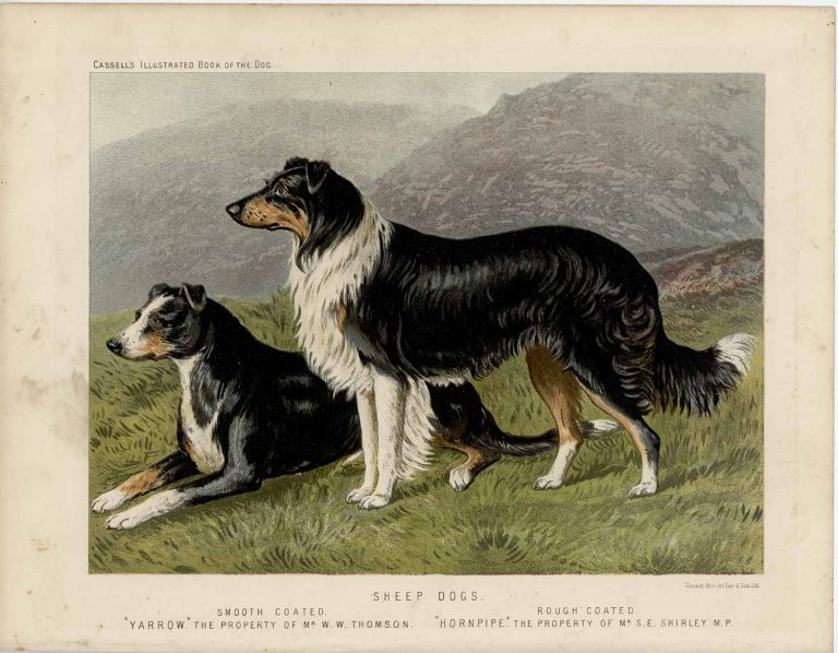 """Sheep Dogs. Smooth Coated. """"Yarrow"""" The Property of Mr. W.W. Thomson. Rough Coated. """"Hornpipe"""" The Property of Mr. S.E. Shirley M.P. SHEEP DOGS - CHROMOLITHOGRAPH."""