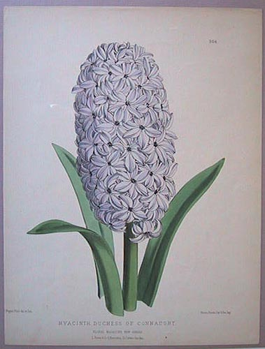 Hyacinth. Duchess of Connaught.