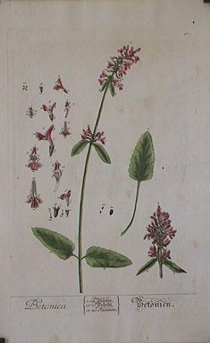 Betonica (from A Curious Herbal). EIGHTEENTH CENTURY hand colored botanical engraving.