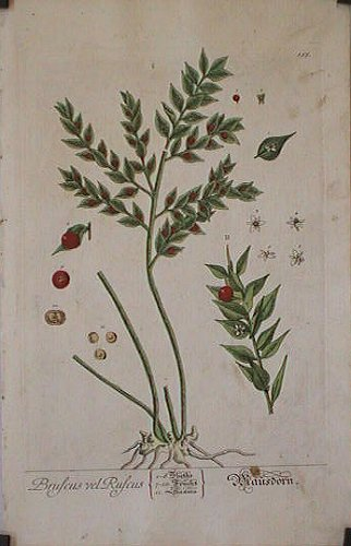 Bruscus Ruscus (from A Curious Herbal). EIGHTEENTH CENTURY hand colored botanical engraving.