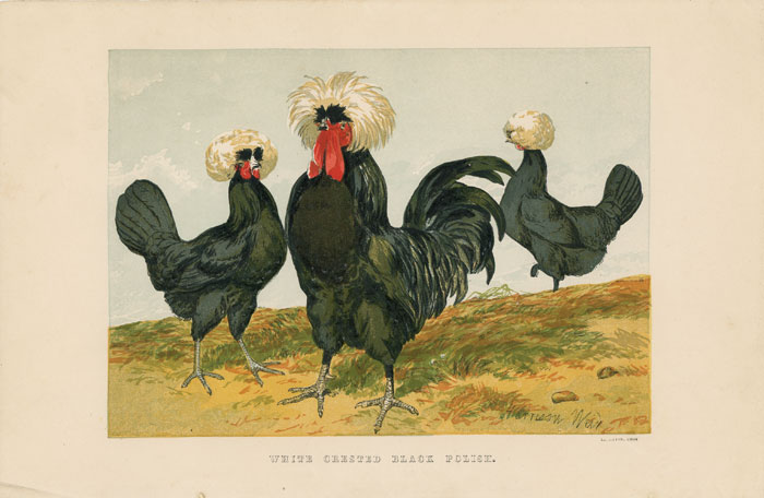 WHITE CRESTED BLACK POLISH. TEGETMEIER -- COLOR WOOD-ENGRAVINGS.
