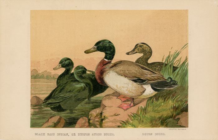 BLACK EAST INDIAN, OR BUENOS AYRES DUCKS. ROUEN DUCKS. TEGETMEIER -- COLOR WOOD-ENGRAVINGS.