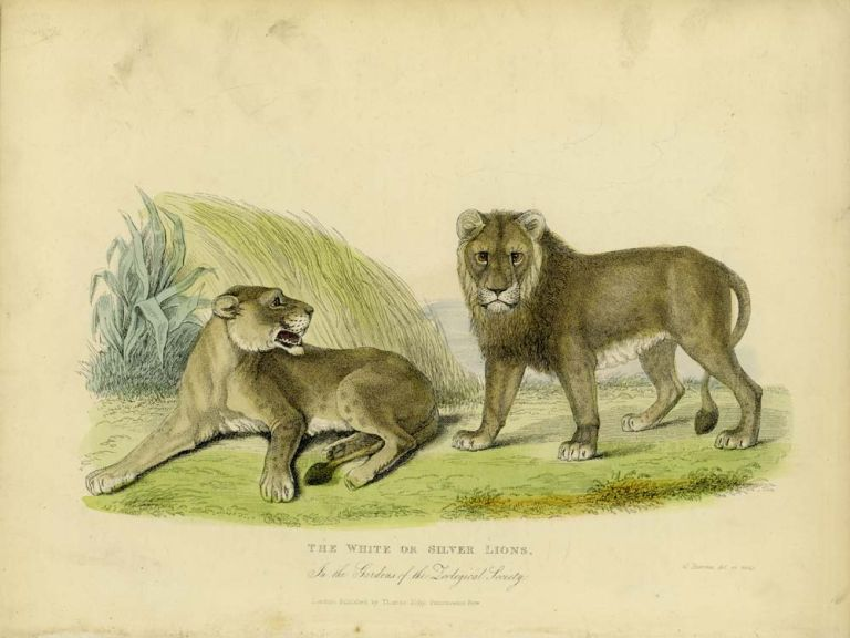 The White or Silver Lions. In the Gardens of the Zoological Society. CATS - WILD.