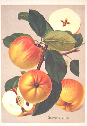 Gravensteiner. (Variety of apple). APPLE.