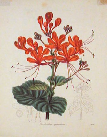 Clerodendron Squamatum. Scaly Clerodendron. RED / ORANGE TONES.