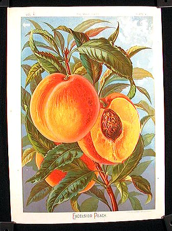 Excelsior Peach. FRUIT - PEACH.