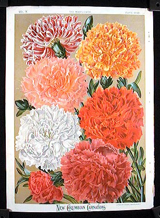 New Columbian Carnations. FLOWER - CARNATIONS.