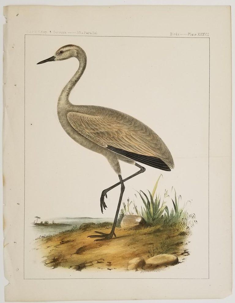 Grus Fraterculus, Cassin. Little Crane.[Vintage Pacific Railroad Survey Lithograph]. CRANE.