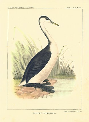 Podiceps Occidentalis.[Vintage Pacific Railroad Survey Lithograph]. GREBE - WESTERN.