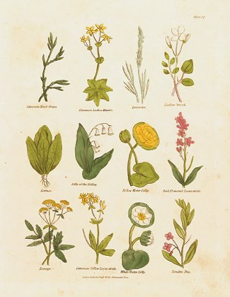 Common Knot Grass. Comon Ladies Mantle. Lavender. Ladies Smock. Lettuce. Lilly of the Valley. Yellow Water Lilly. Red Flowered Loose-strife. Lovage. Common Yellow Loose-strife. White Water Lilly. Linden Tree. CULPEPER HERBAL HANDCOLORED ENGRAVING.