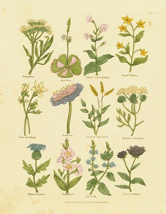 Samphire. Sun Dew. Short leaved Tobacco. Small Tobacco. White Saxifrage. Scabious. English Spikenard. Meadow Saxifrage. Third Scabious. Soap Wort. Speedwell. Sheep Scabious. CULPEPER HERBAL HANDCOLORED ENGRAVING.