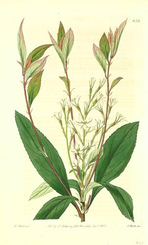 Raphiolepis salicifolia. Willow-leaved Raphiolepis