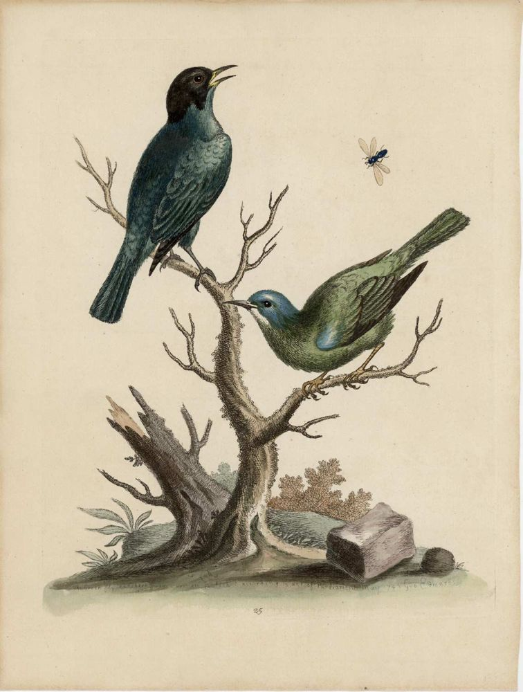 The Green Black-Cap Fly-Catcher. EDWARDS - EIGHTEENTH CENTURY COPPERPLATE ENGRAVINGS.