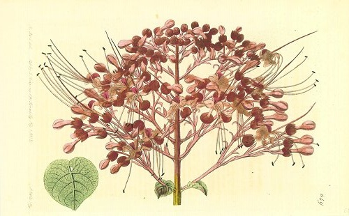 Clerodendron squamatum. Kaempfer's scarlet Clerodendron. CHINA / JAPAN.