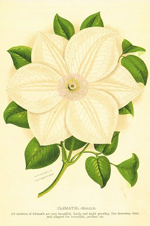 CLEMATIS. - Henryii. CHROMOLITHOGRAPH - AMERICAN.
