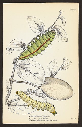1. Caterpillar of S. Cynthia. 2. ___Do___of S. Mylitta. 3. Pedunculated cocoon of the latter. BUTTERFLIES / MOTHS.
