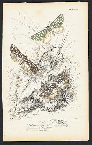 1. Dichroma equestralis. Cape of Good Hope. 2______histrionalis. 3______arcualis. BUTTERFLIES / MOTHS.