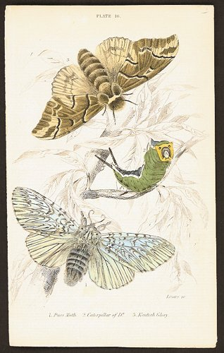 1. Puss Moth. 2. Caterpillar of Do. 3. Kentish Glory. BUTTERFLIES / MOTHS.