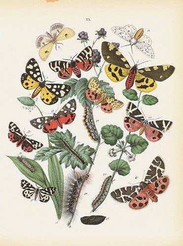 European Butterflies and Moths.
