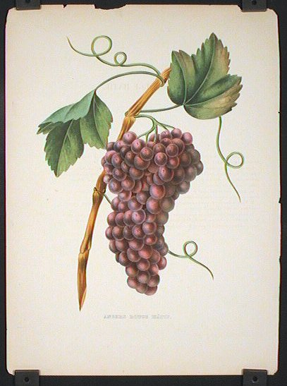 Angers Rouge Hatif. (GRAPES). GRAPES.