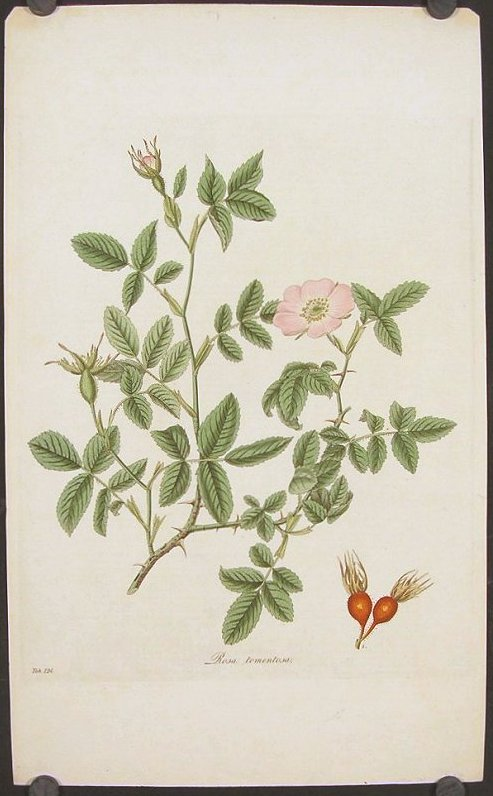 Rosa tomentosa. Downy-Leaved Dog-Rose. FLORA LONDINENSIS HANDCOLORED BOTANICAL ENGRAVING.