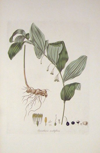 Convallaria multiflora. Common Solomon's-Seal. FLORA LONDINENSIS HANDCOLORED BOTANICAL ENGRAVING.