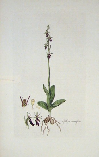 Ophrys muscifera. Fly Ophrys. [BRITISH ORCHID]. FLORA LONDINENSIS HANDCOLORED BOTANICAL ENGRAVING.