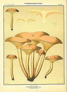 Edible Fungi. Clitocybe Illudens Schw. Deceiving Clitocybe. EDIBLE FUNGI OF NEW YORK.