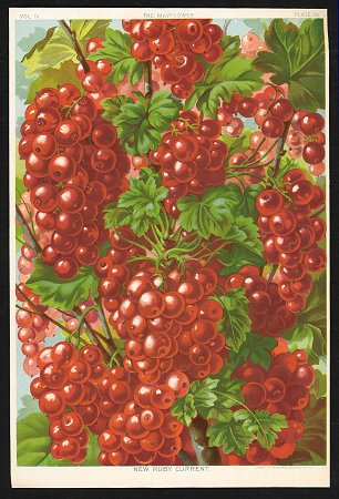 New Ruby Current. FRUIT - RED CURRANTS.