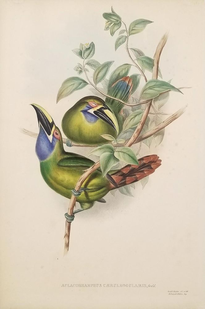Aulacorhamphus Caeruleogularis, Gould. [Blue-throated Groove-bill]. TOUCANS - GOULD.