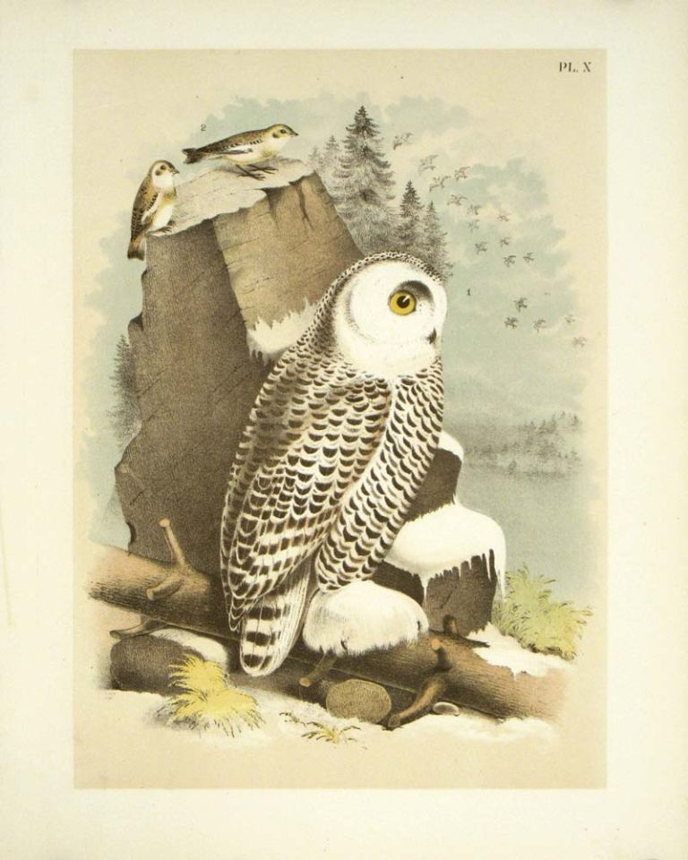 Snow Owl and Snow Bunting. OWL - CHROMOLITHOGRAPH.