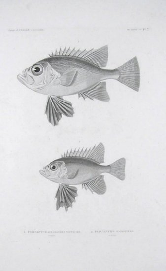 1. Priacanthe aux Grandes Ventrales. 2. Priacanthe Macroptere. ENGRAVING.