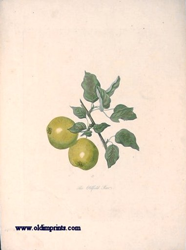 The Oldfield Pear. PEAR.