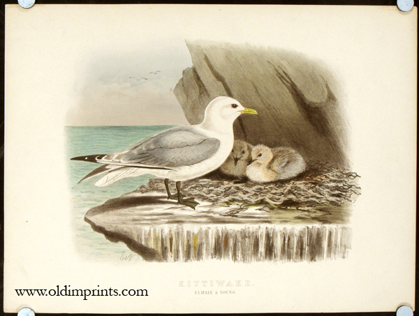 Kittiwake. Female and Young.