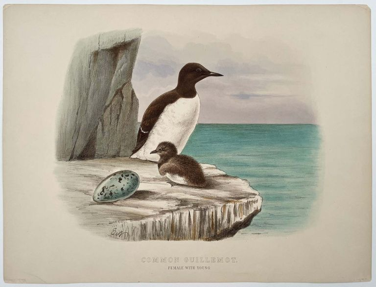 Common Guillemot. Female with Young.