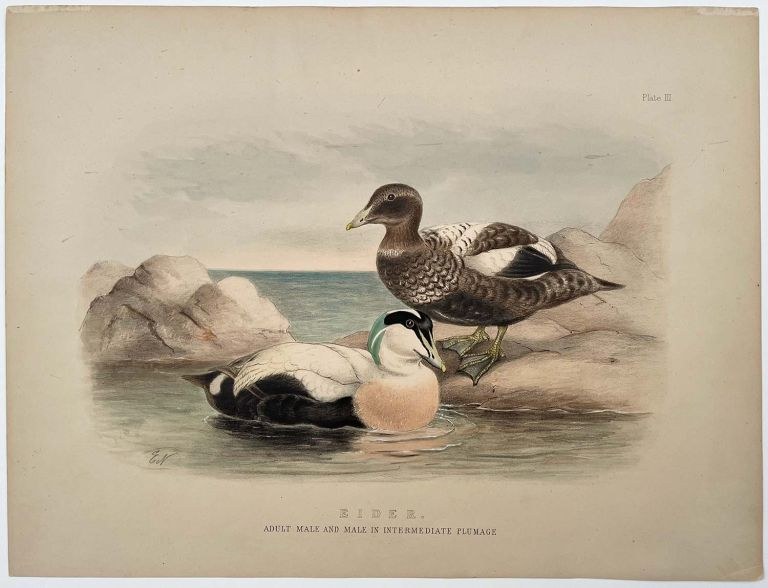 Eider. Adult Male and Male in Intermediate Plumage.