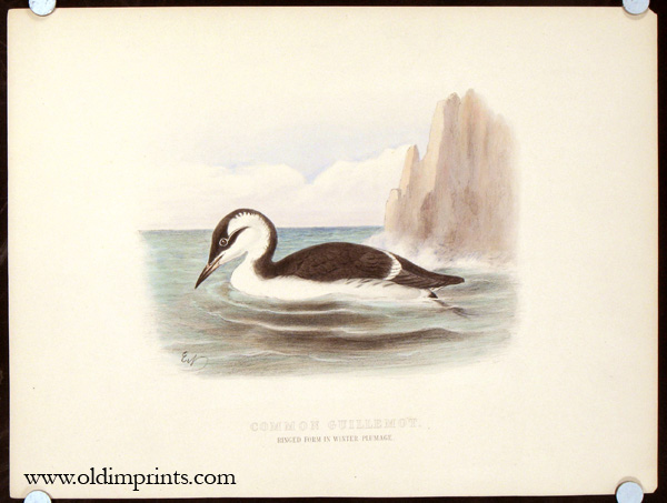 Common Guillemot. Ringed Form in Winter Plumage.