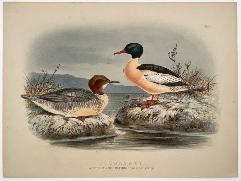 Goosander. Adult Male & Male in Plumage of First Winter.