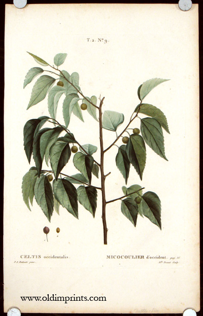 Celtis occidentalis. Micocoulier d'occident. COMMON HACKBERRY.