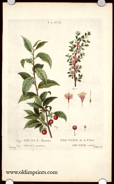 Prunus Sinensis. Prunier de la Chine. Prunus prostrata. Prunier couche. CHINA - BOTANICAL - CHERRY.