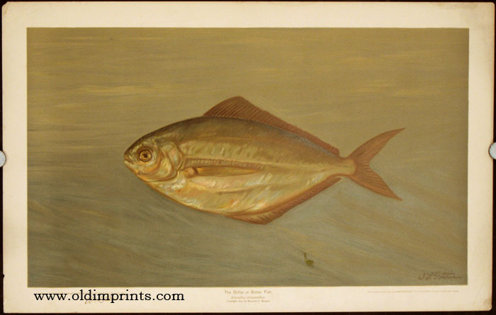 The Dollar or Butter Fish. Rhombus triacanthus. CHROMOLITHOGRAPHS - FISHES OF NORTH AMERICA.