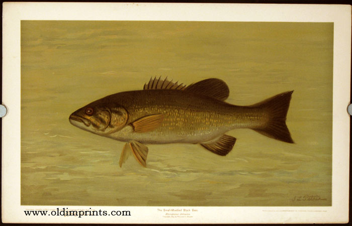 The Small-Mouthed Black Bass. Micropterus dolomieu. CHROMOLITHOGRAPHS - FISHES OF NORTH AMERICA.