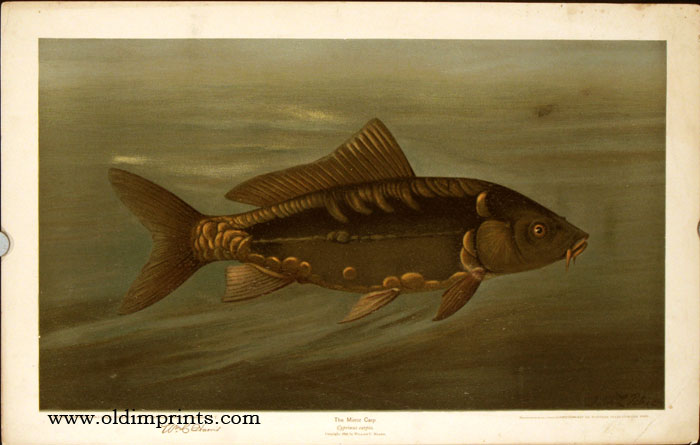 The Mirror Carp. Cyprinus carpio. CHROMOLITHOGRAPHS - FISHES OF NORTH AMERICA.