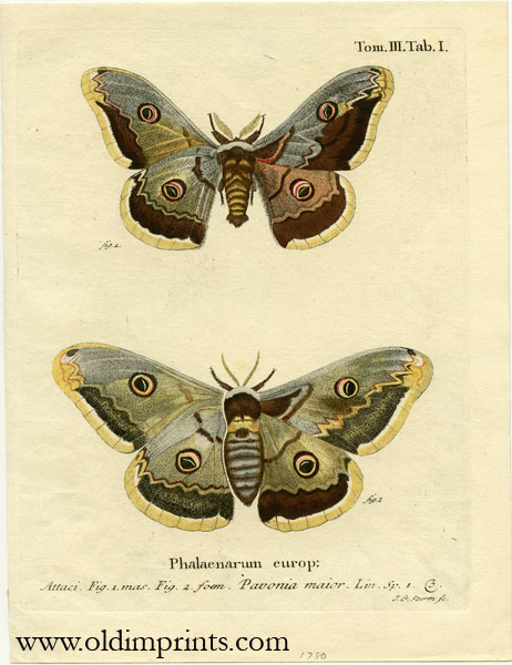 Phalaenarum europ. ENGRAVING - BUTTERFLY / MOTH.