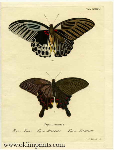 Papil. exotic. ENGRAVING - BUTTERFLY / MOTH.
