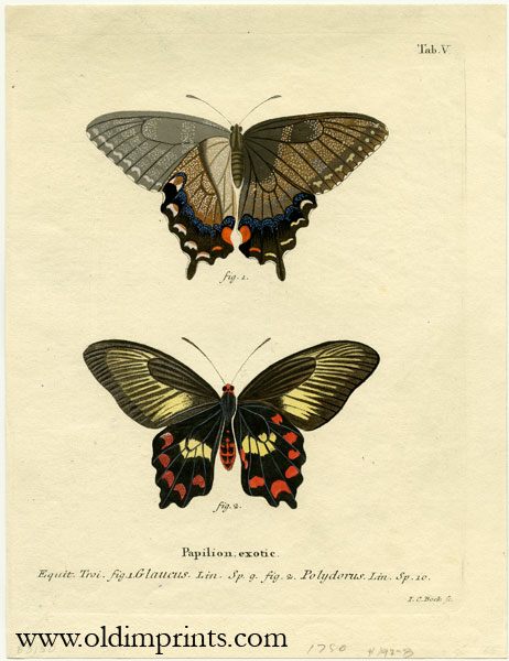 Papilion. exotic. ENGRAVING - BUTTERFLY / MOTH.