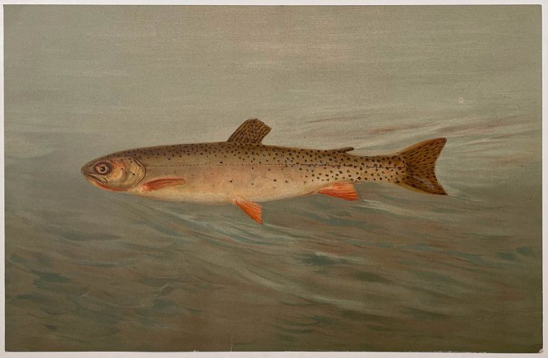 The Rocky Mountain Trout. CHROMOLITHOGRAPHS - FISHES OF NORTH AMERICA.